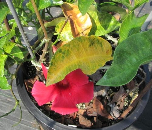 6621 Mandevilla Sun Parasol Giant Crimson