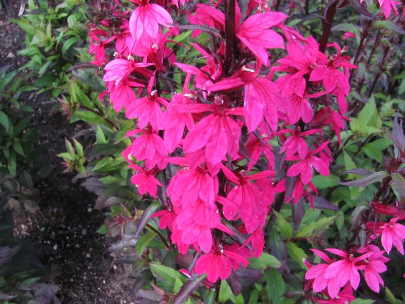 46 Lobelia Fan Deep Rose